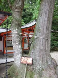 塩田八幡宮(いおたはちまんぐう) ご神木