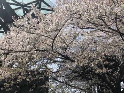 一心寺の桜