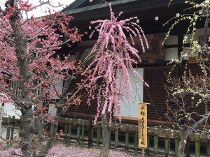 大阪天満宮の梅の花