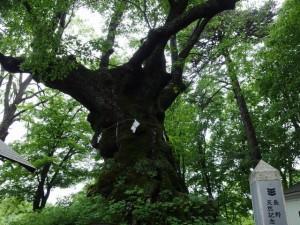 碓氷権現熊野神社 ご神木
